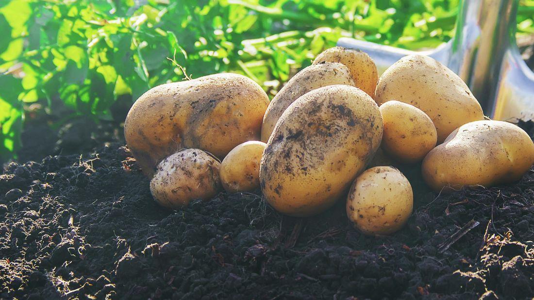 Some freshly dug potatoes.