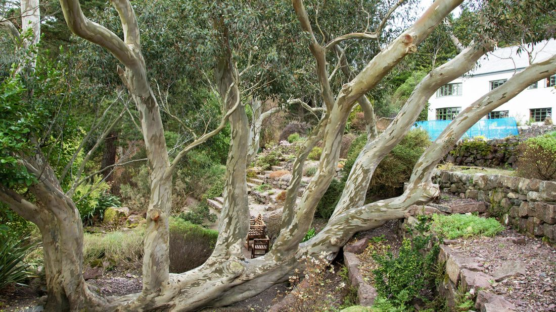 Old eucalyptus tree with multiple trunks in a landscaped garden with dry stone walls and historic house