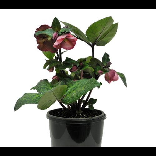 2.5L Hellebore Penny's Pink - Helleborus hybrid