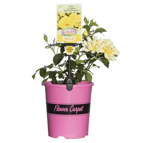 2.5L Gold Carpet Rose