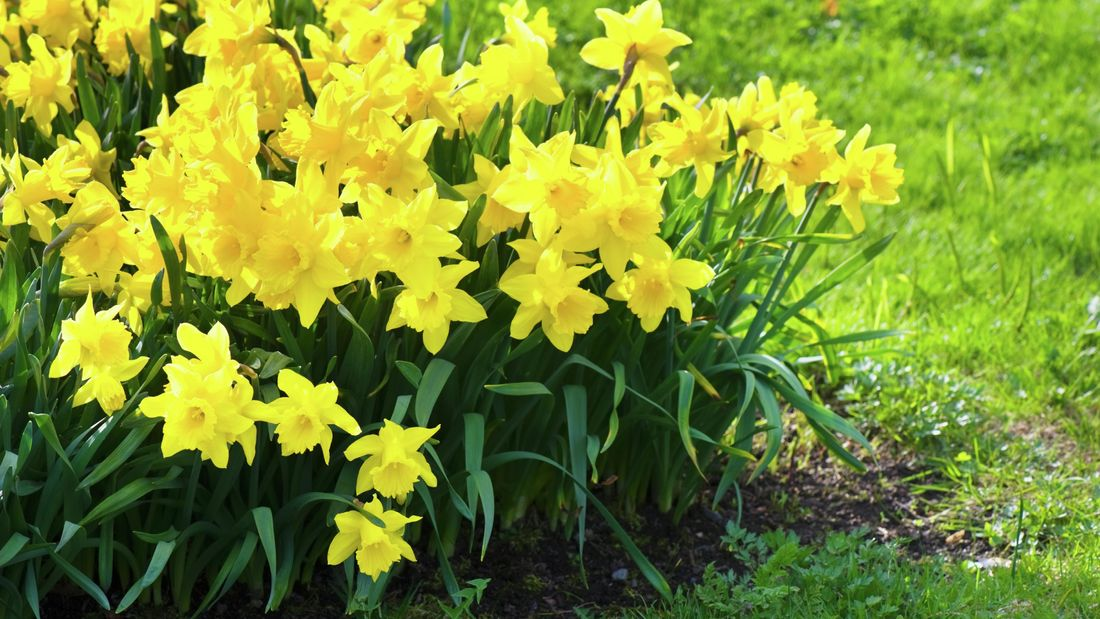 daffodils growing in garden bed