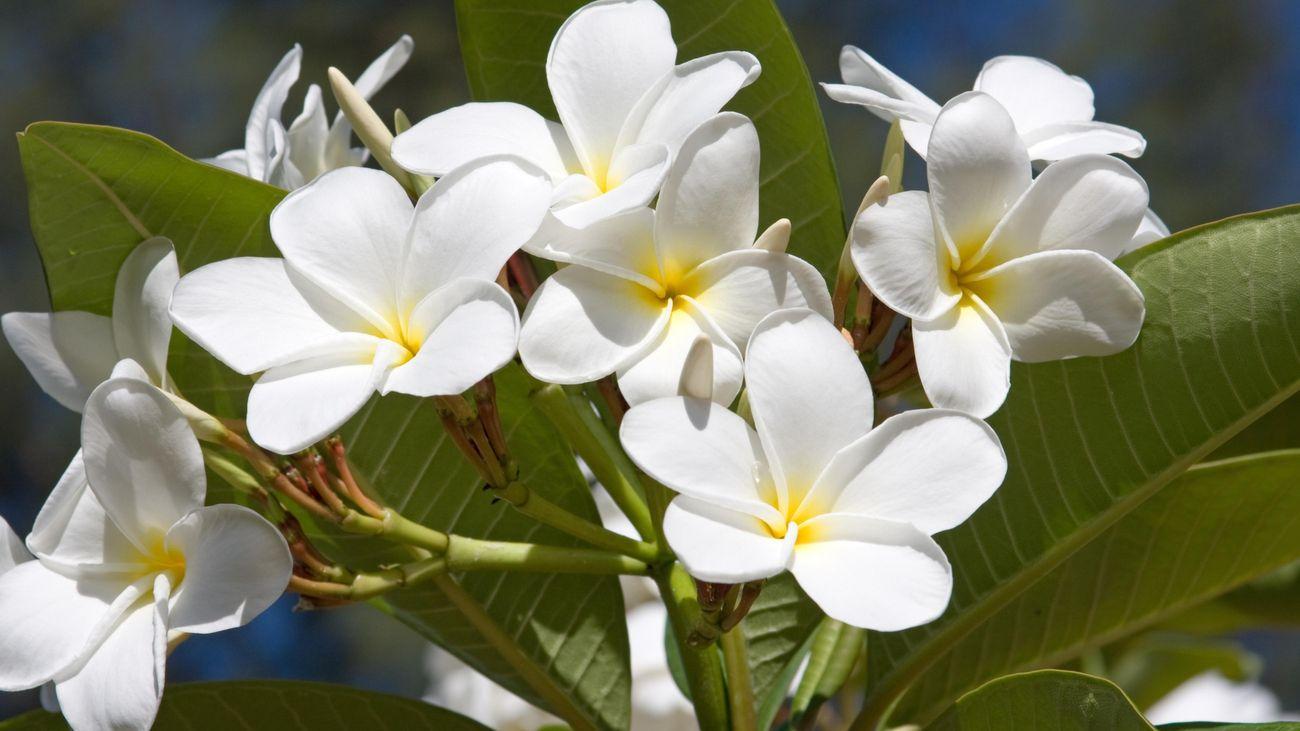 Close up of a bunch of beautiful white frangipani flowers.