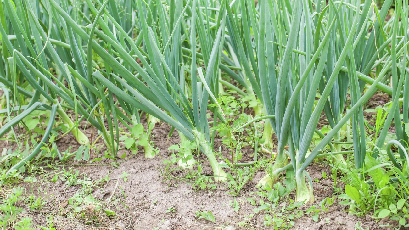 Spring onions growing in a garden patch