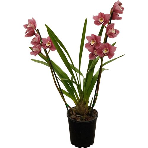 180mm Cymbidium Orchid - Cymbidium x hybrida