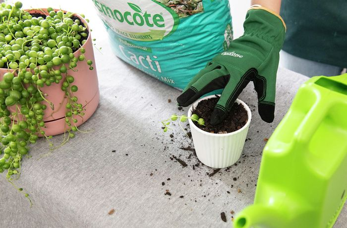 DIY Advice Image - How to propagate and care for a string of pearls. G Drive blob storage upload.