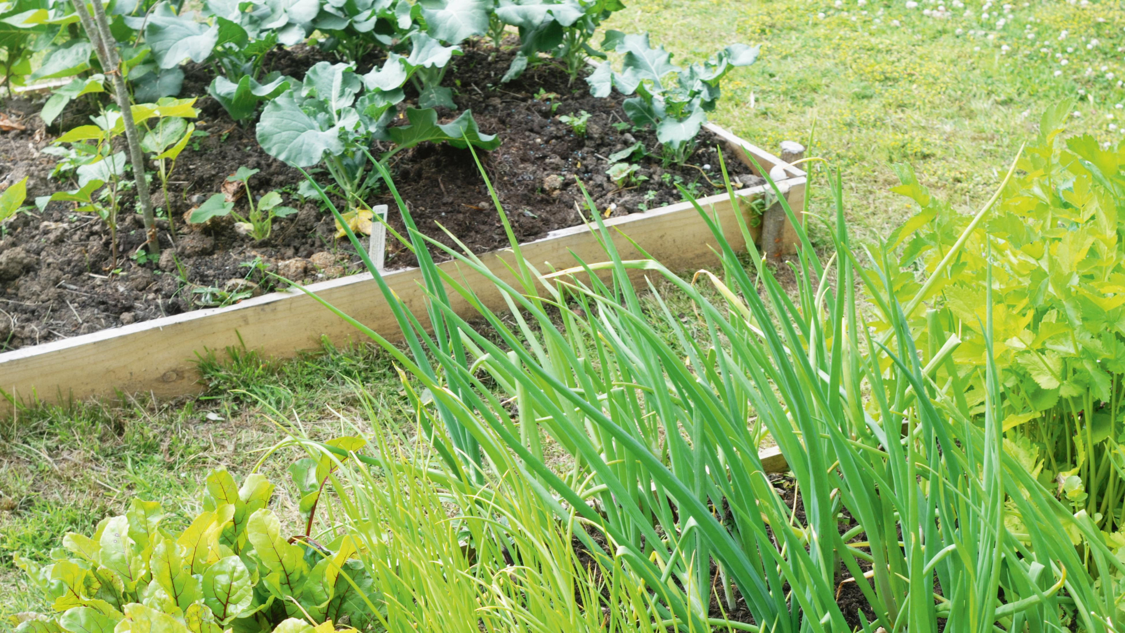 Raised garden bed used to grow vegetables