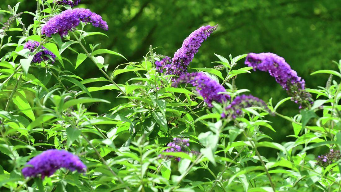 purple buddleia flowers in a garden exterior