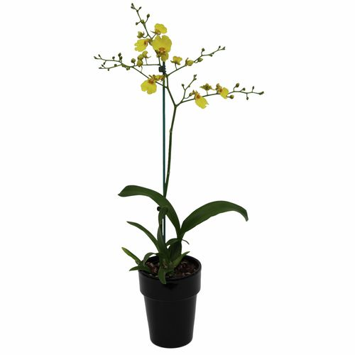 120mm Butterfly Orchid - Oncidium 'Dancing Lady'