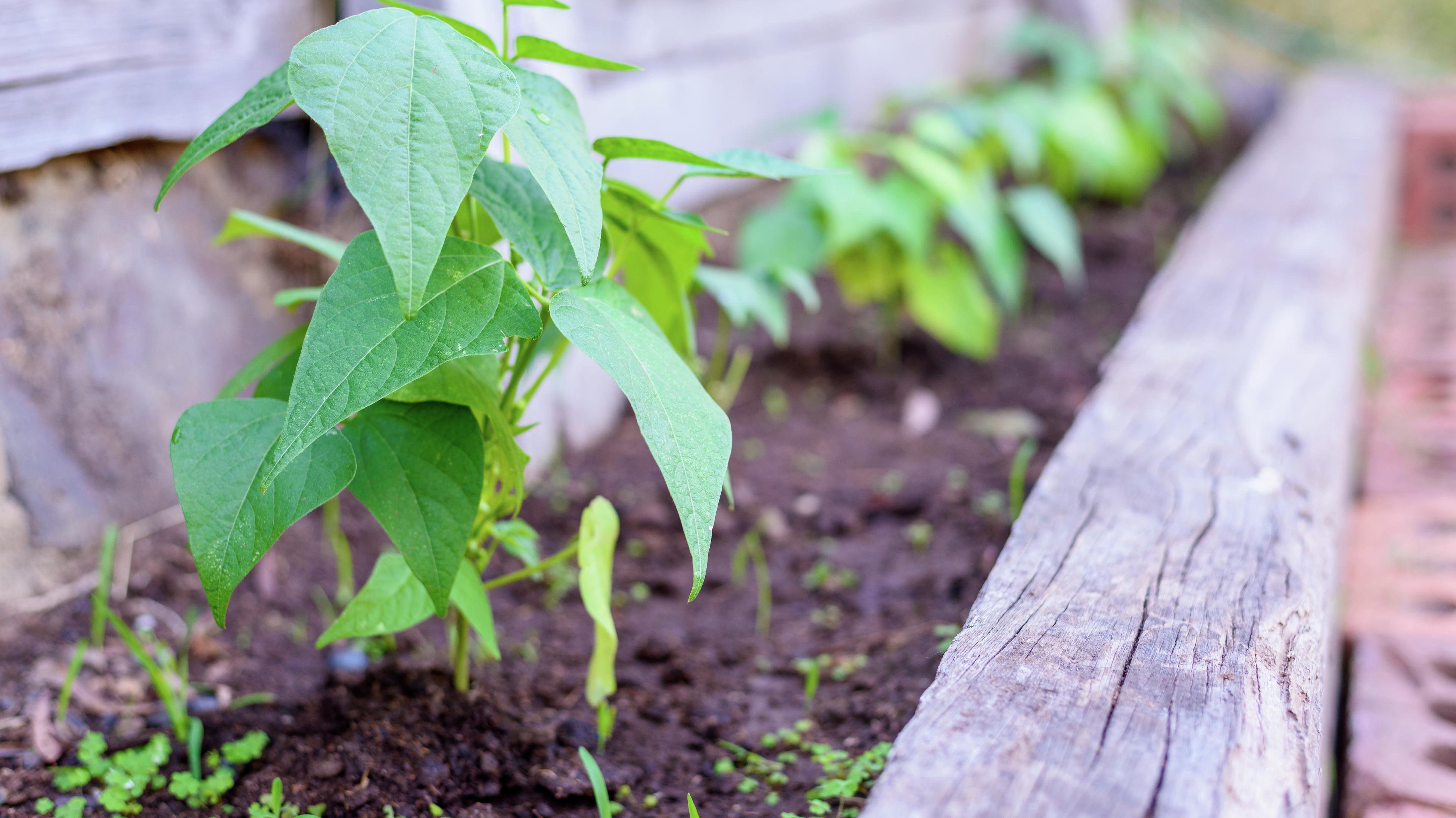 Pea plant easy to grow