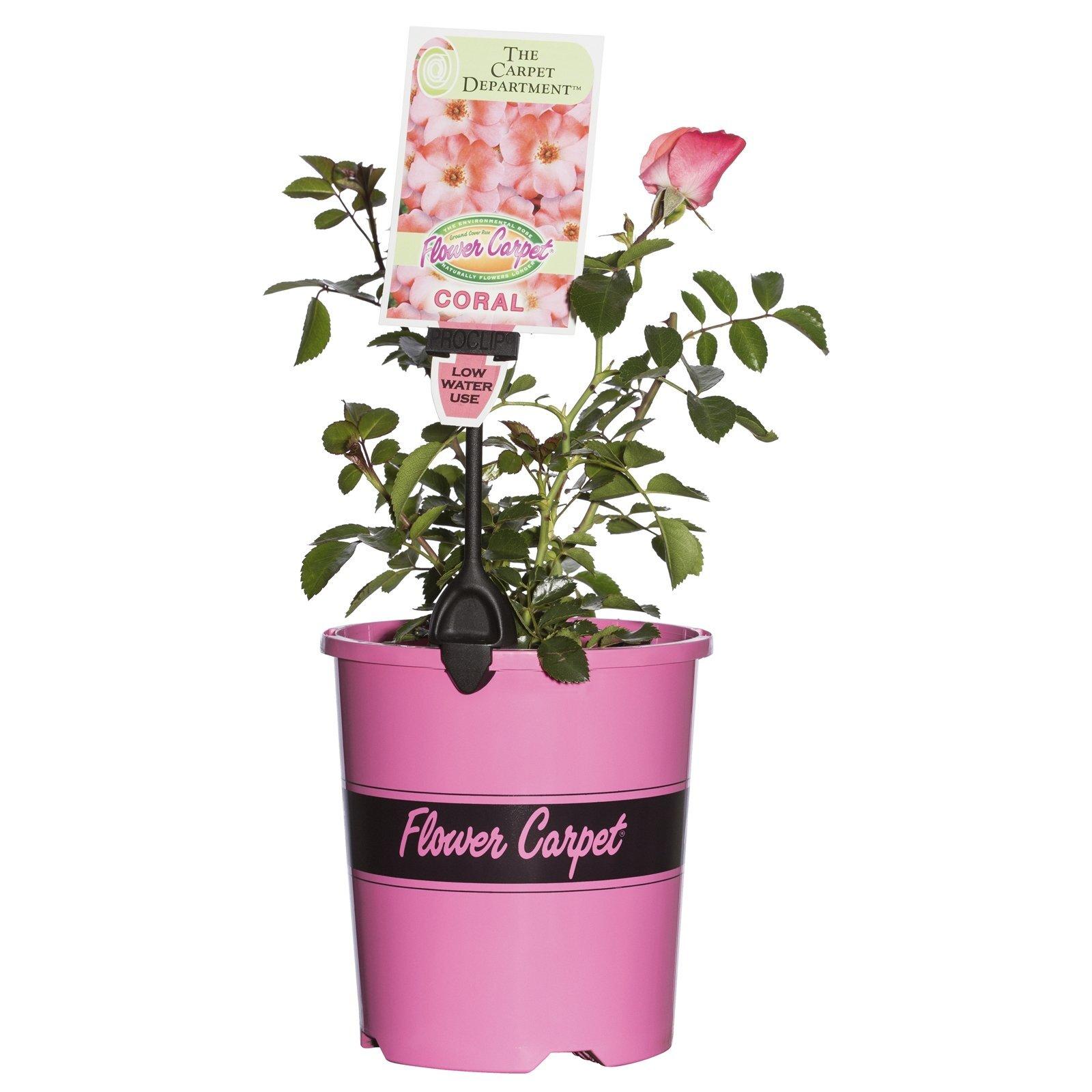 2.5L Coral Carpet Rose