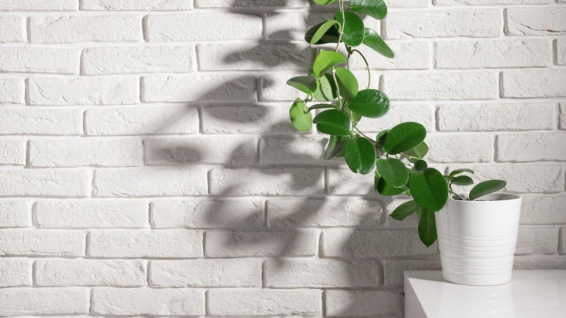 hoya plant in white pot climbing up white brick wall