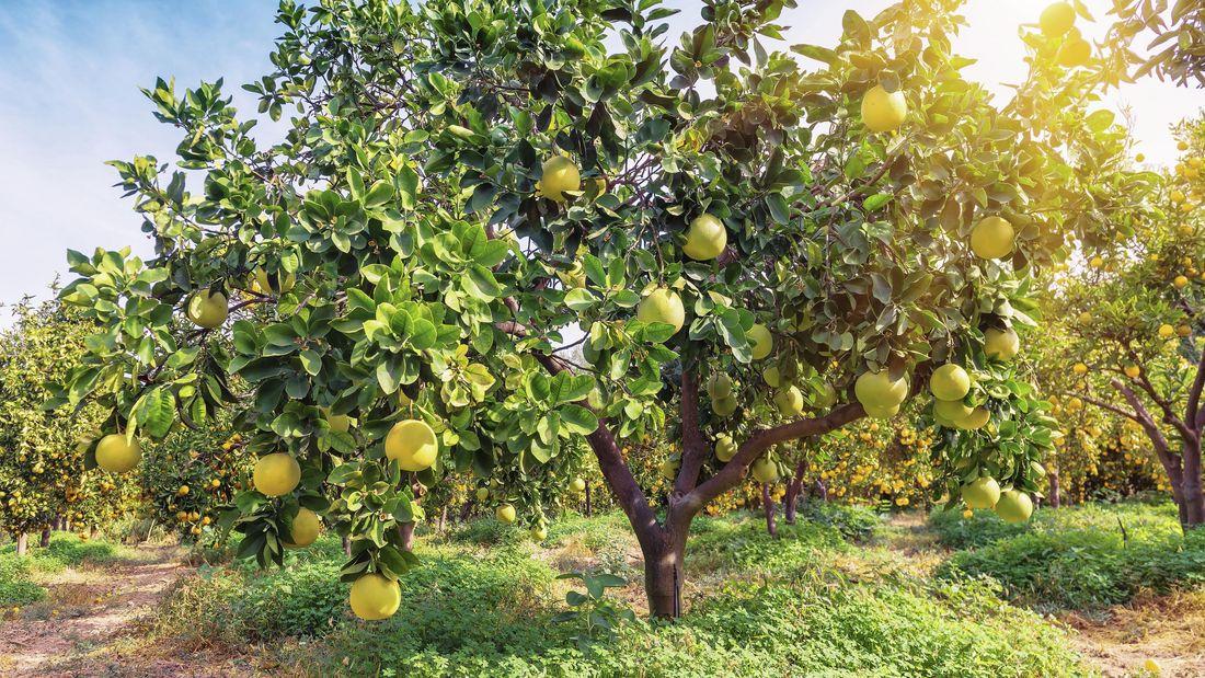 Citrus tree in a field.