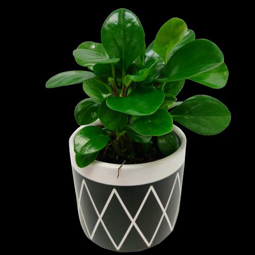 120mm Jade In Viggo Pot - Peperomia obtusifolia