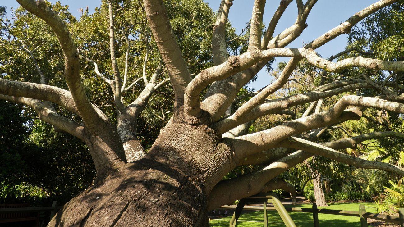 Planting a baobab tree into the garden