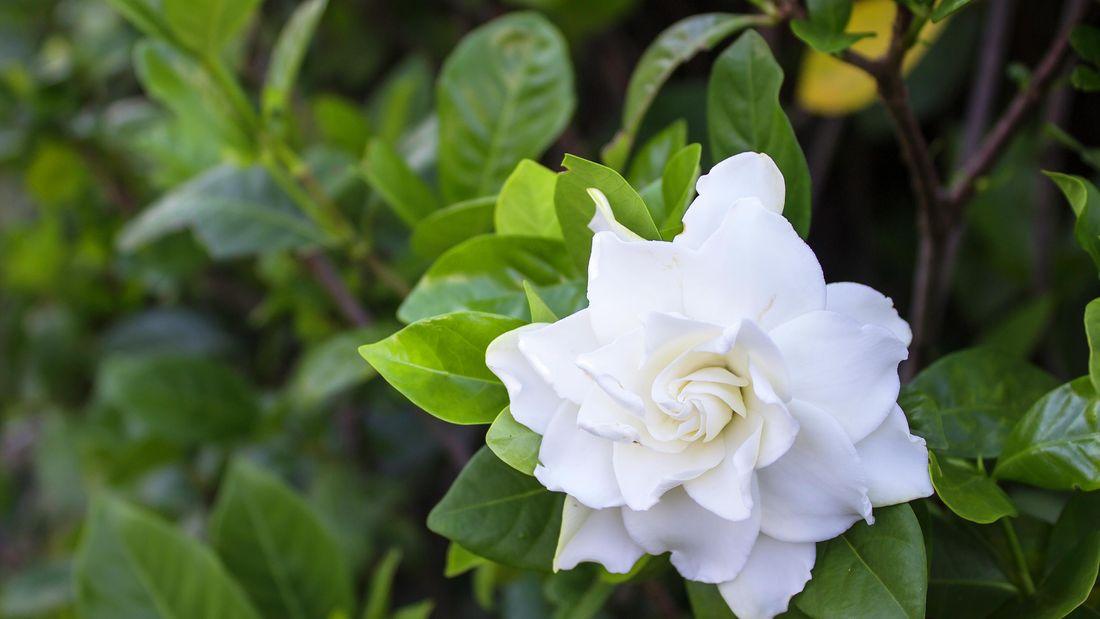 DIY Advice Image - Growing gardenias: how to grow and care for gardenias . G Drive blob storage upload.