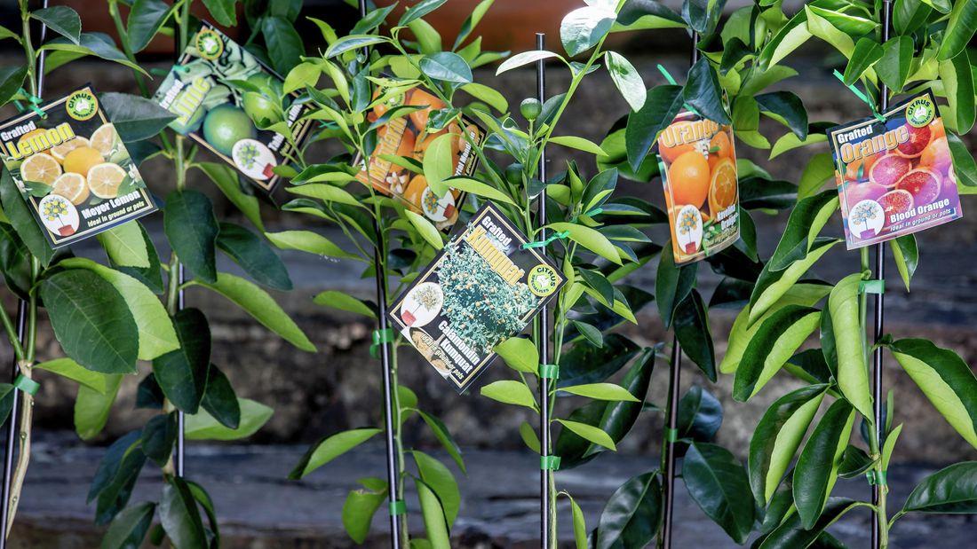 Various citrus plants in pots
