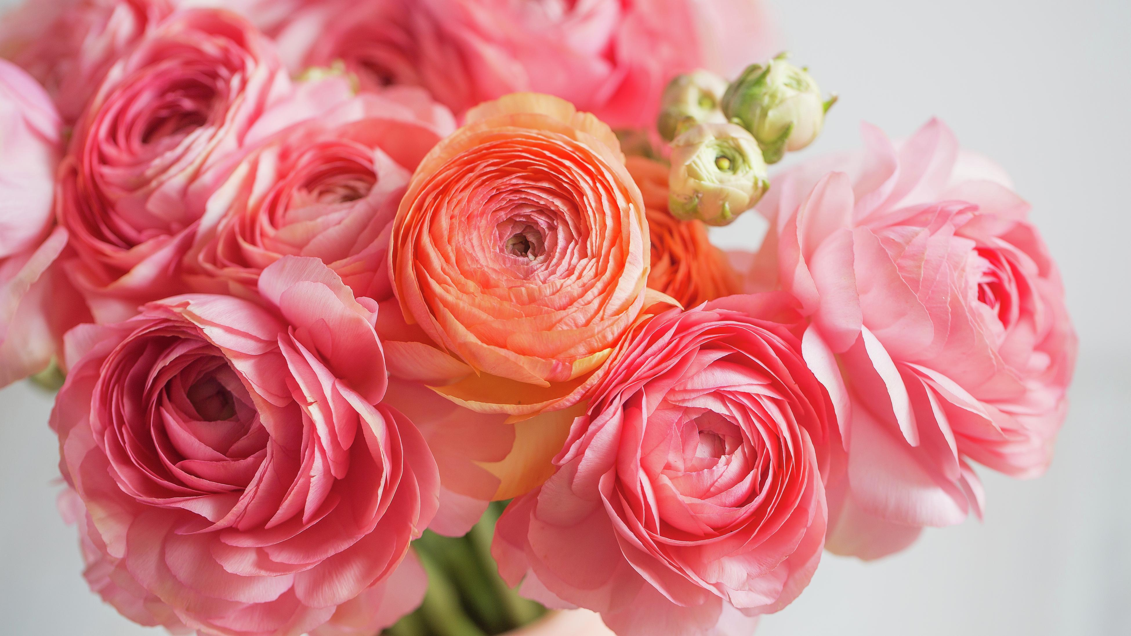 pastel pink ranunchulus flowers in close up