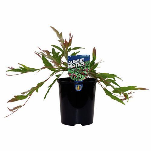 140mm Grevillea Royal Mantle - Grevillea laurifolia x willsii