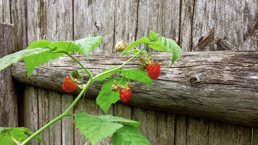 Raspberries growing on plant.