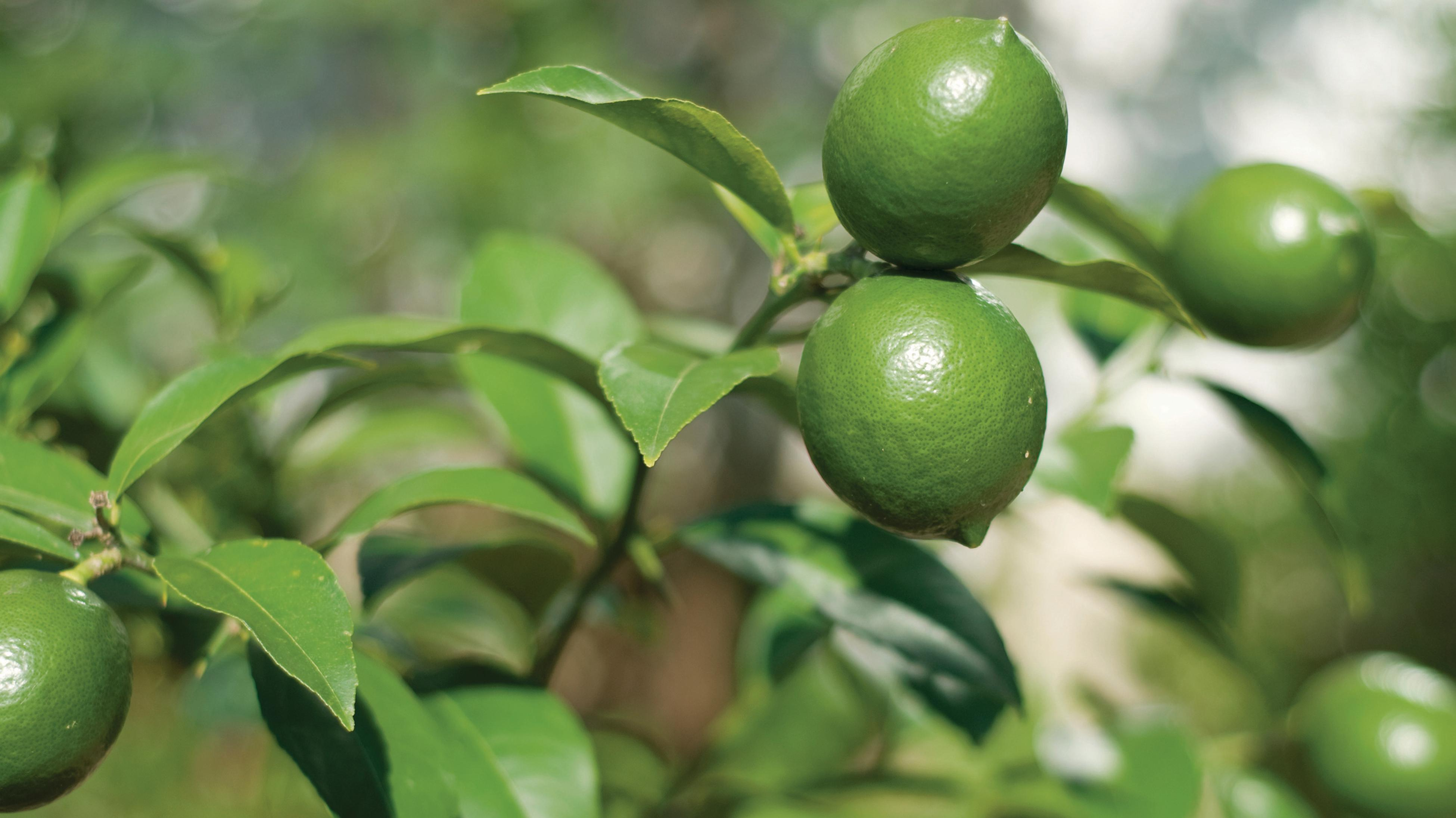 Limes growing on tree.