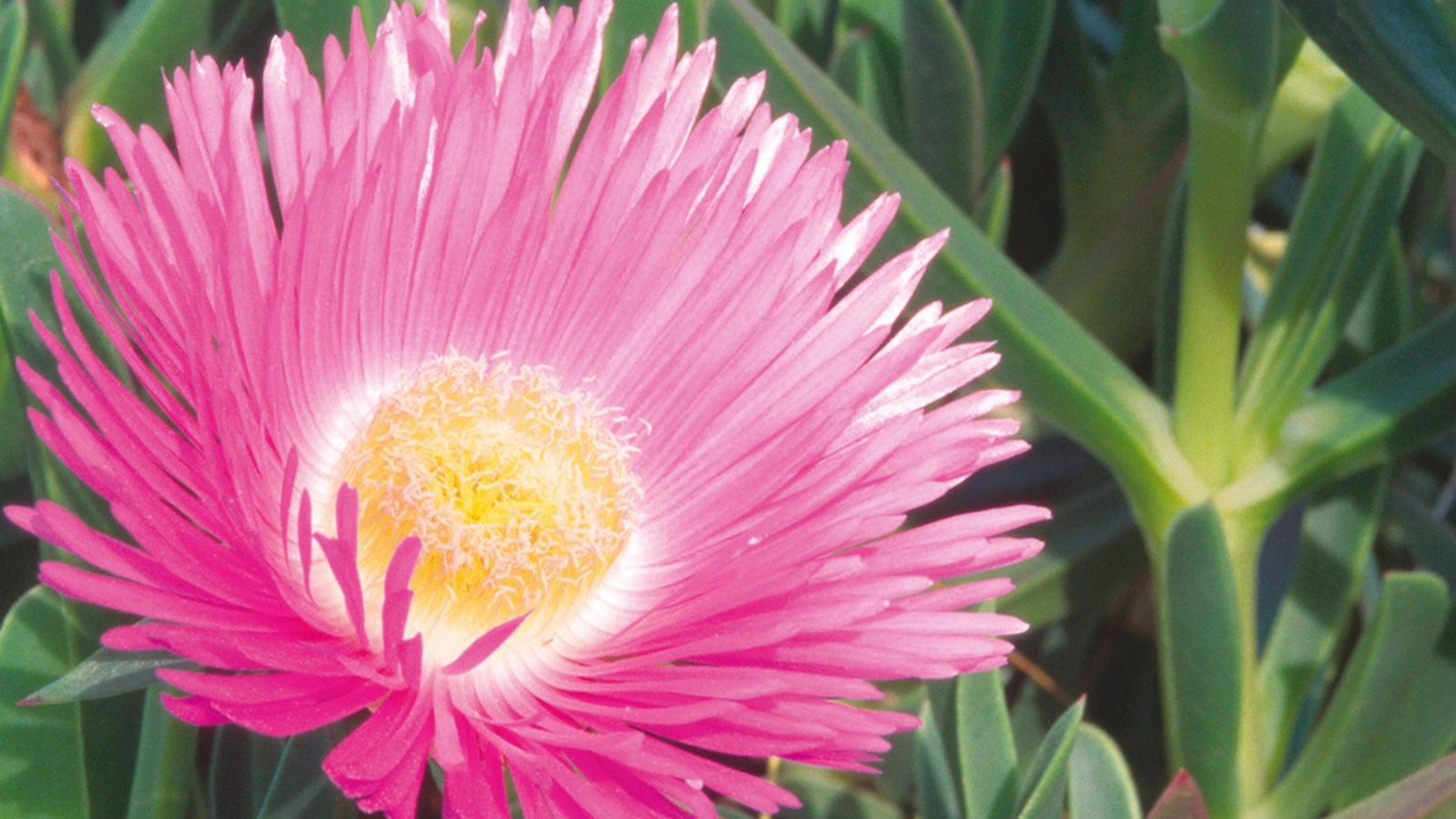 Pigface flower.