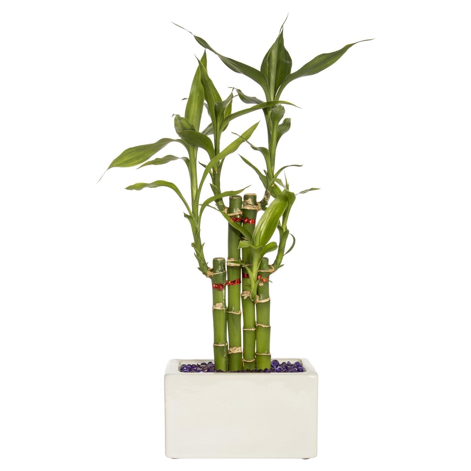Lucky Bamboo Size E - Dracaena sanderiana