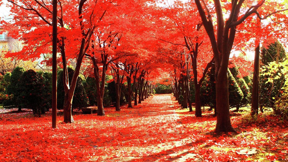 Japanese maples line a path in a park.