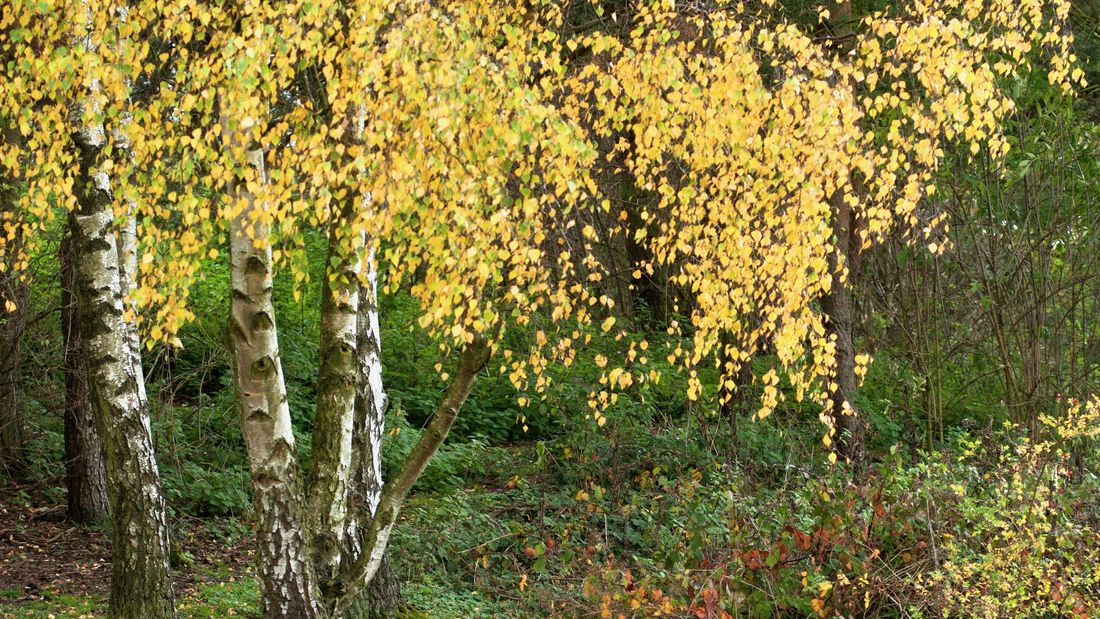 wide shot of a group of silver birch trees