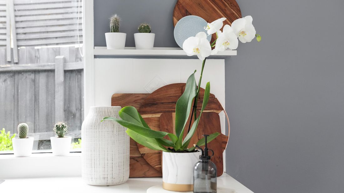 Orchid plant sitting on a kitchen benchtop