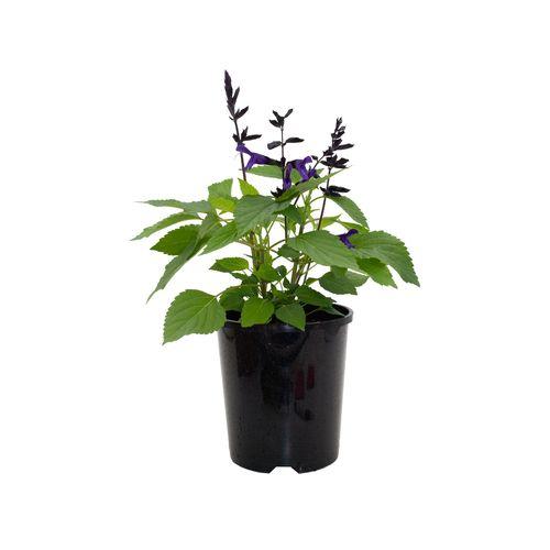 140mm Salvia Amistad - Salvia guaranitica