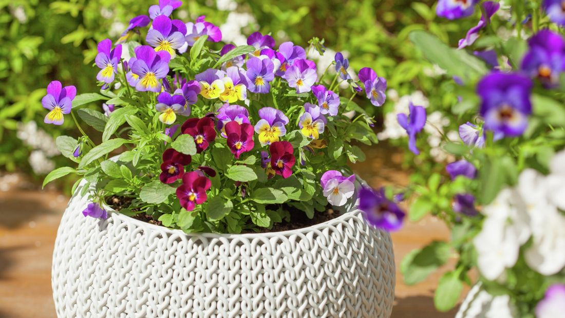 Pot with violets and violas planted.