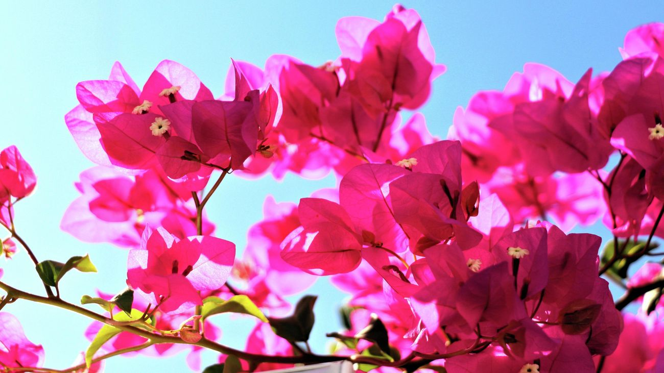 A close up of a bougainvillea plant.