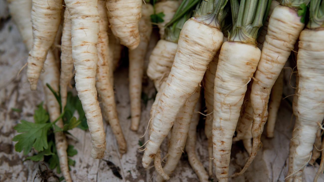 A bunch of freshly harvested white parsnip