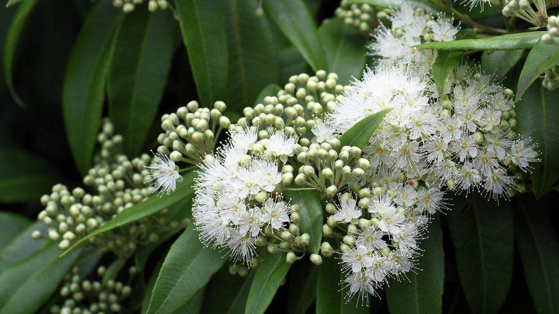 Lemon myrtle plant with white flowers