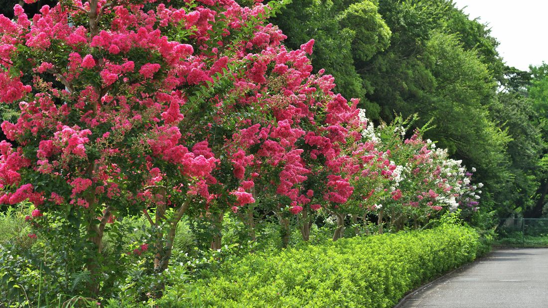 A tree with bright pink flowers, possibly a crepe myrtle