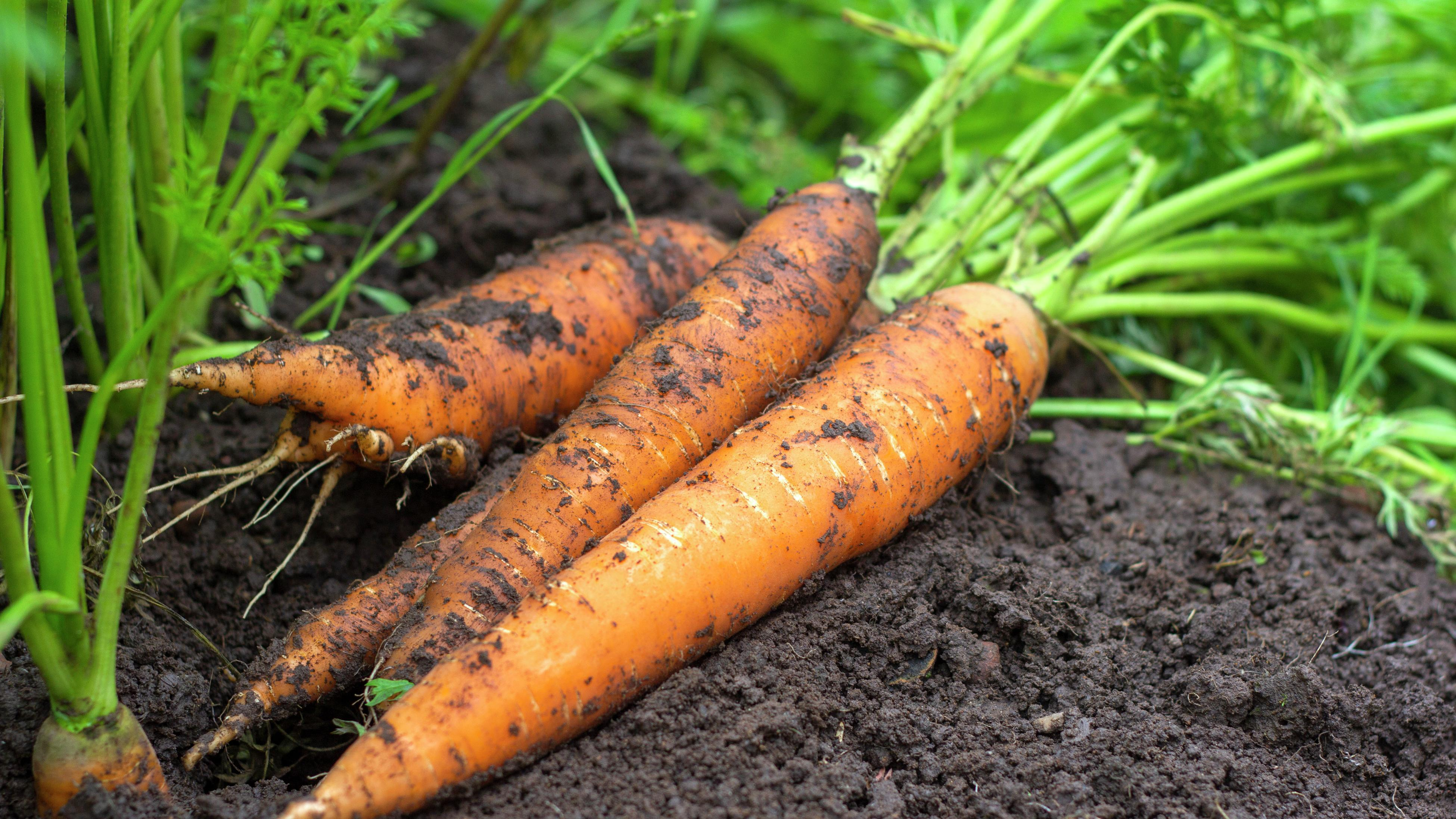 Close up of carrots in soil.