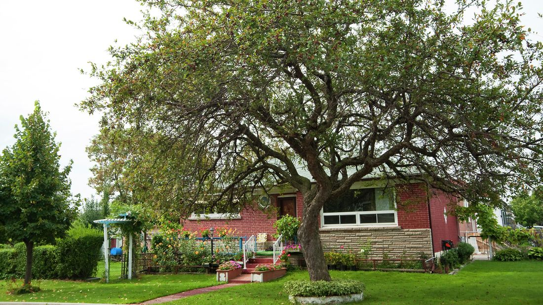 A mature tree in a country backyard in front of a red brick house