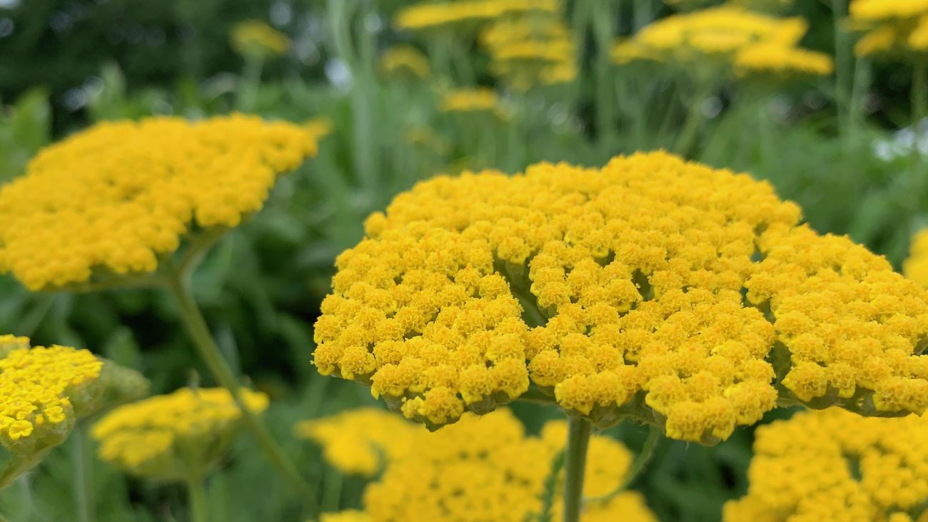 close up of a yellow yarrow plant