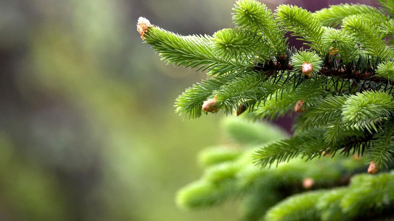 close up of pine fronds