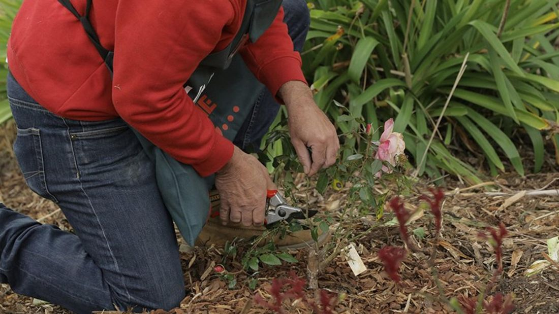 Person prunes a plant using secateurs.