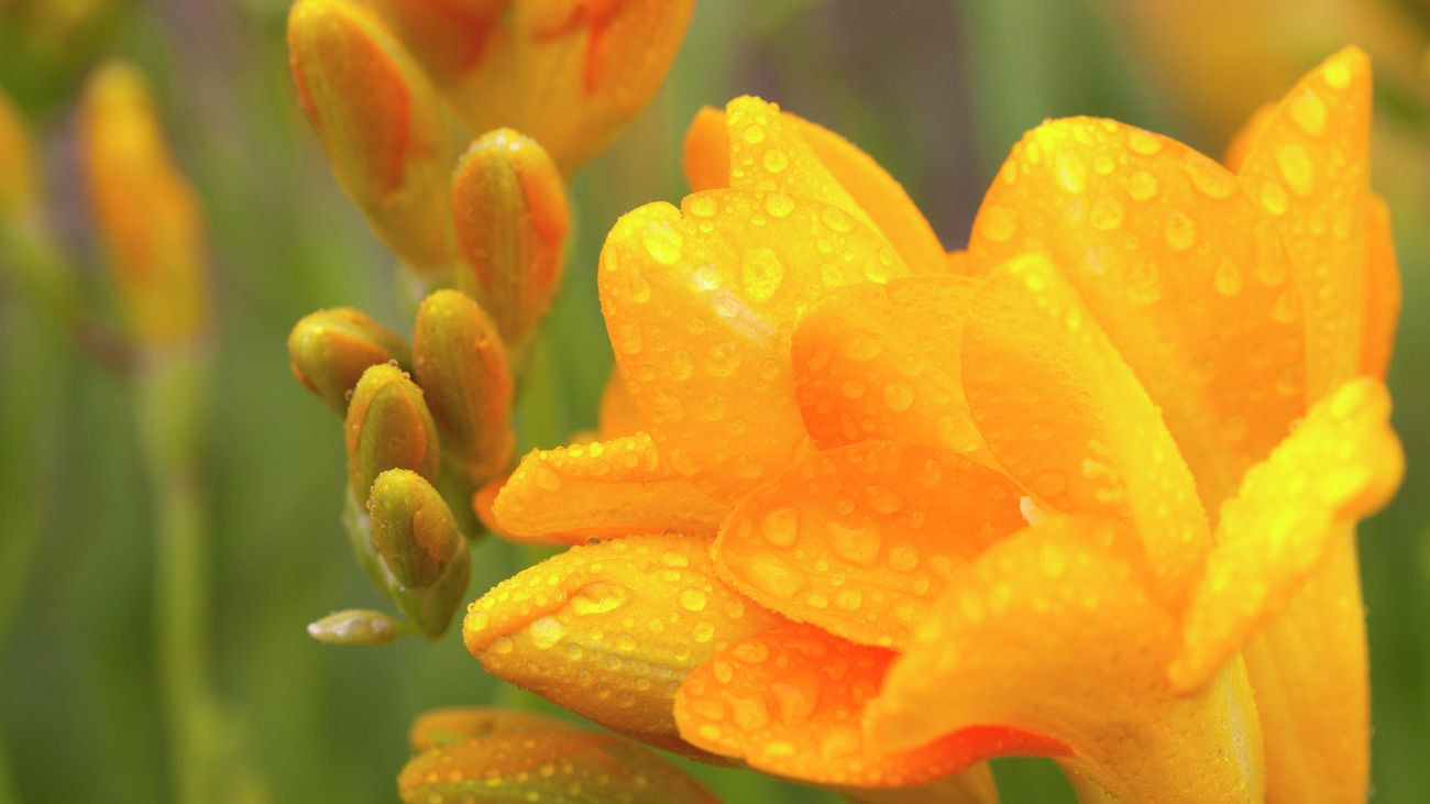 Close-up of a yellow freesia flower