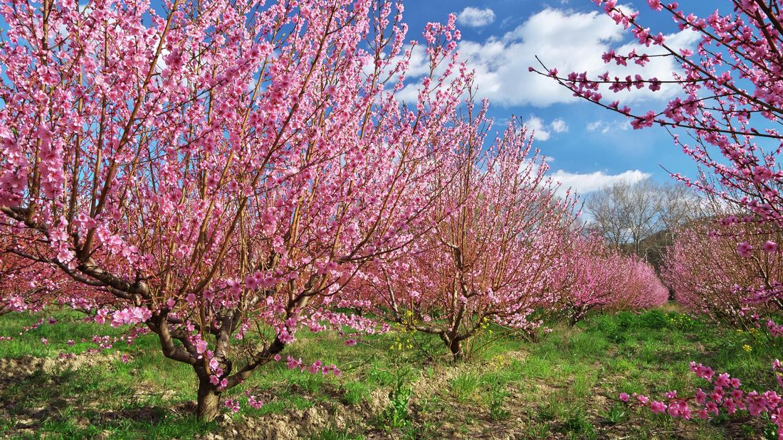 An orchard of nectarine trees with pink blossom