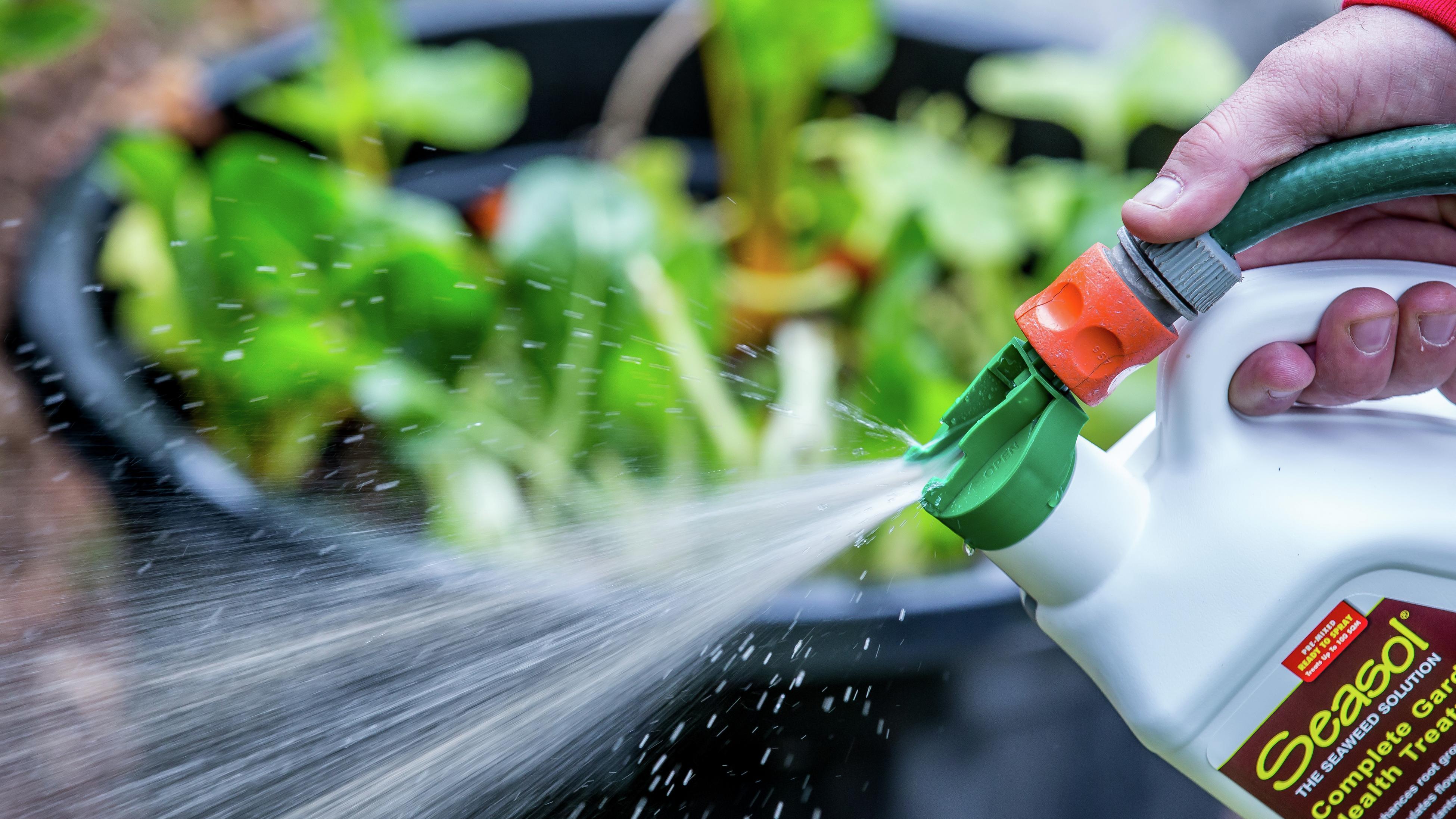 Closeup of person spraying Seasol seaweed solution through a hose attachment