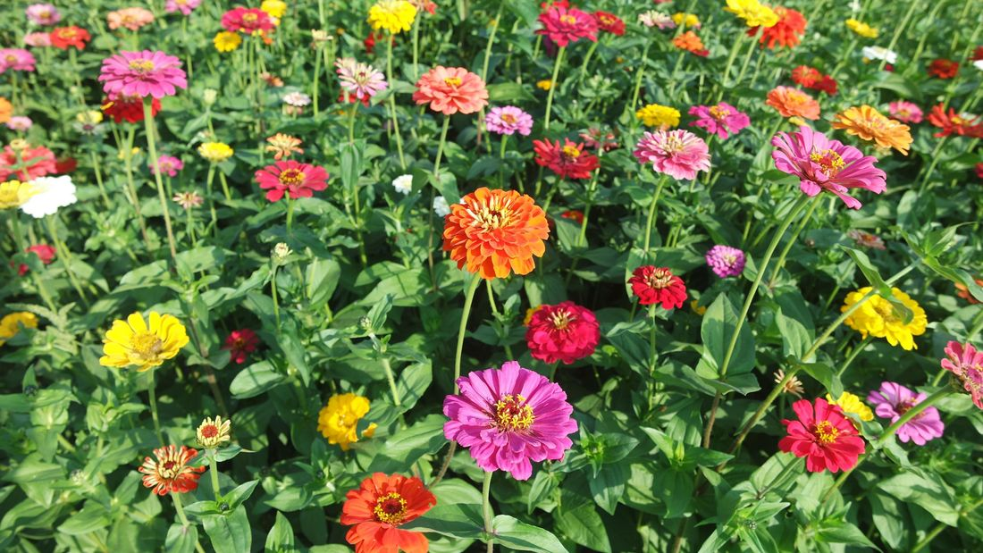 A field of zinnia with flowers of many colours
