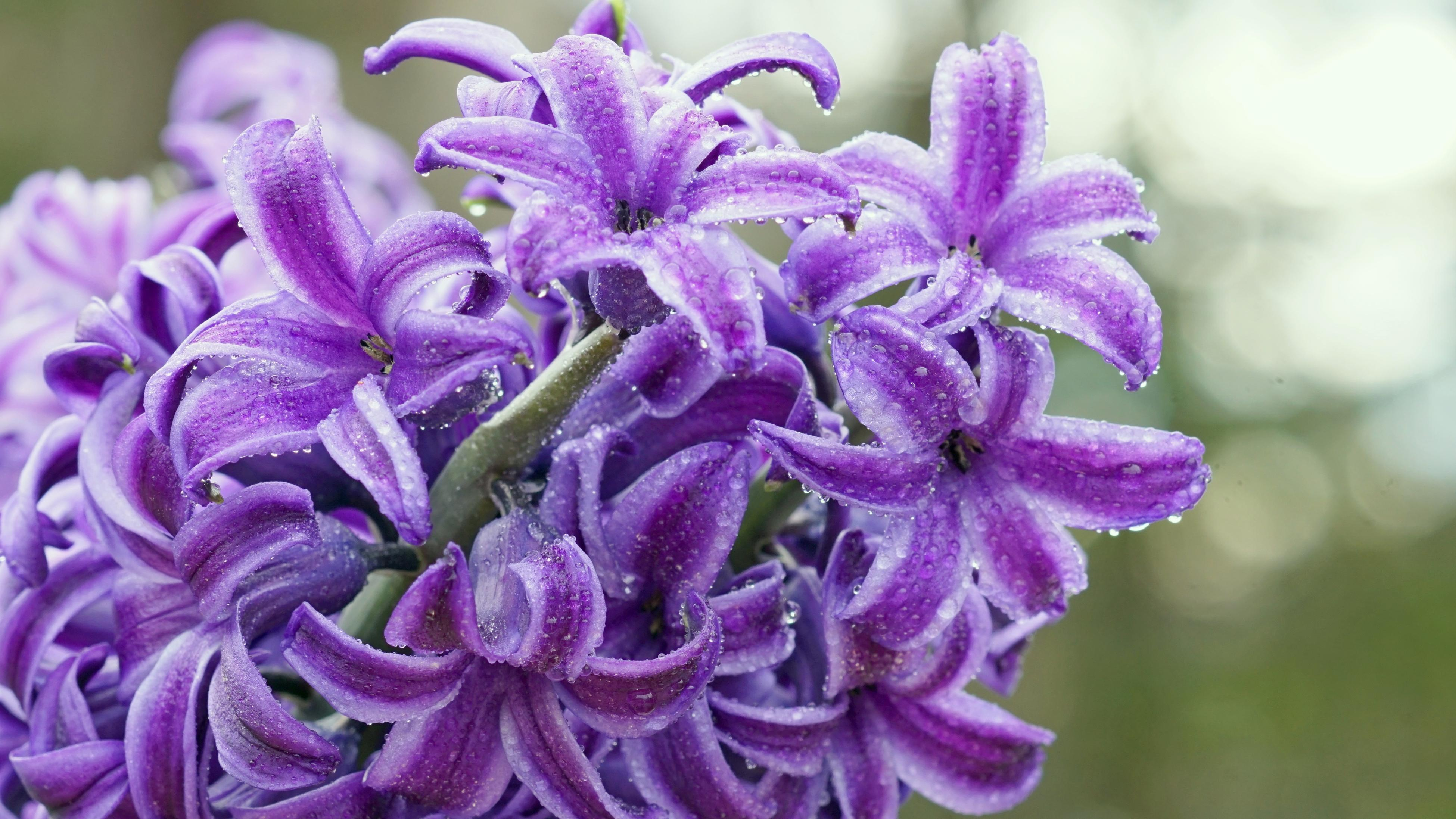 A purple hyacinth flower covered in water droplets