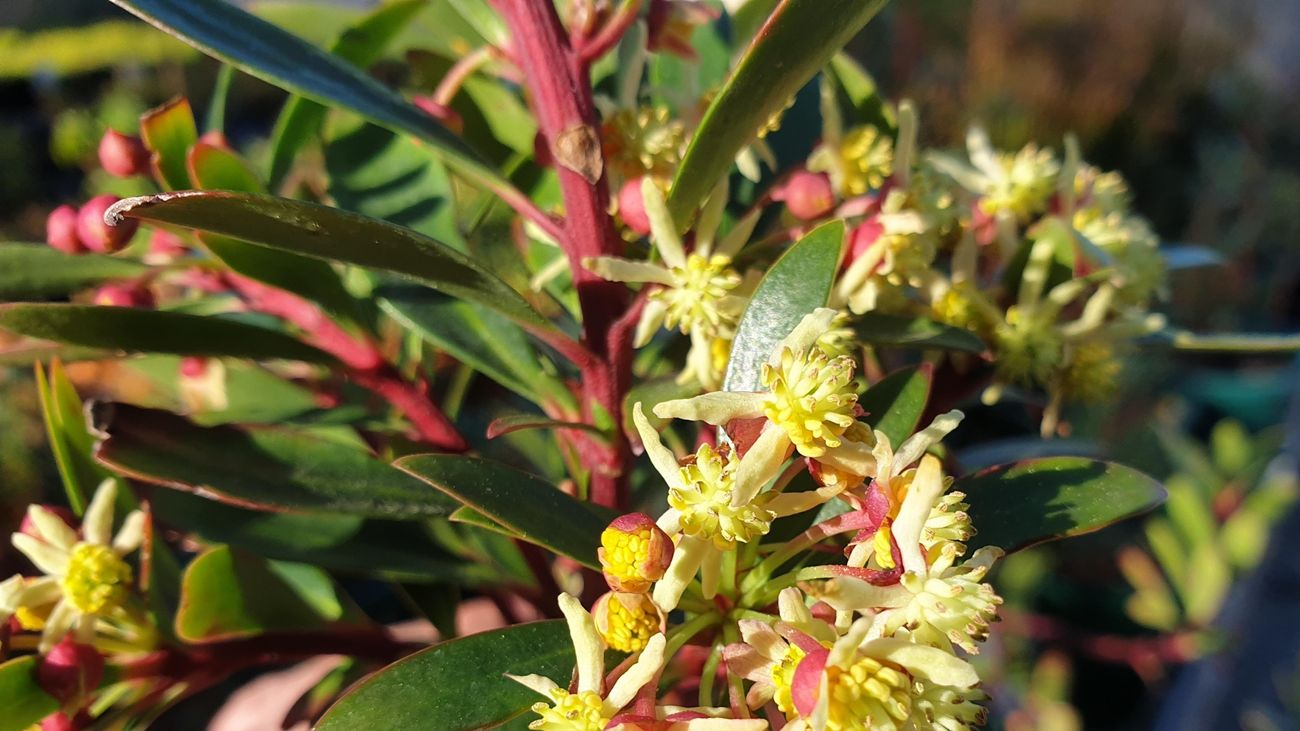 Flowers on a mountain pepper bush