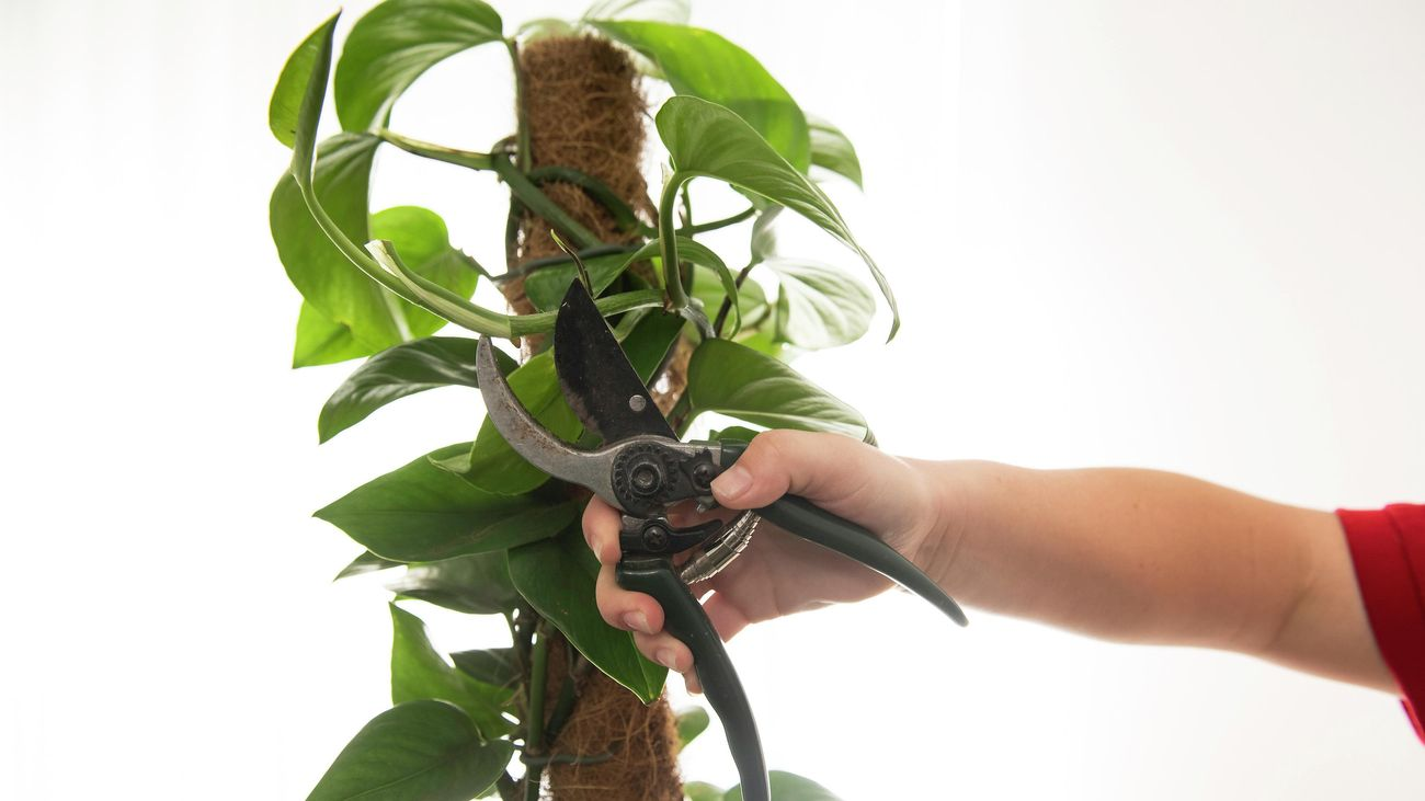 Person's hand prunes Devil's ivy with secateurs.