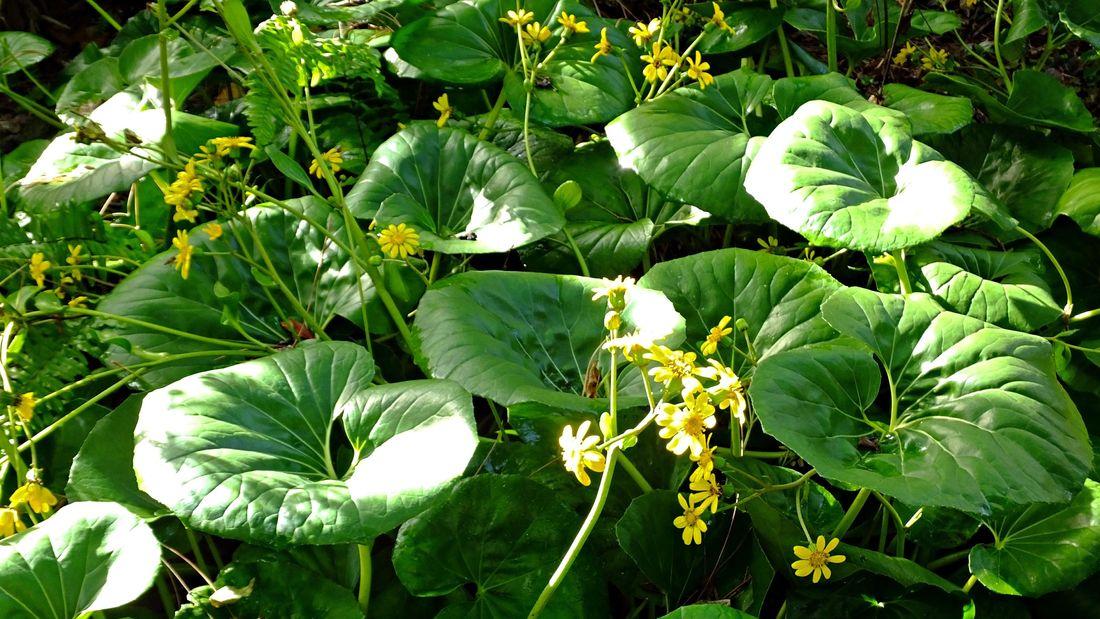wide shot of the dark leafy green leopard plant foliage