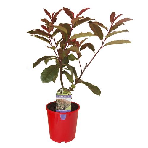 2L Photinia Red Robin 'Hedge It Range' - Photinia x Fraseri 'Red Robin'