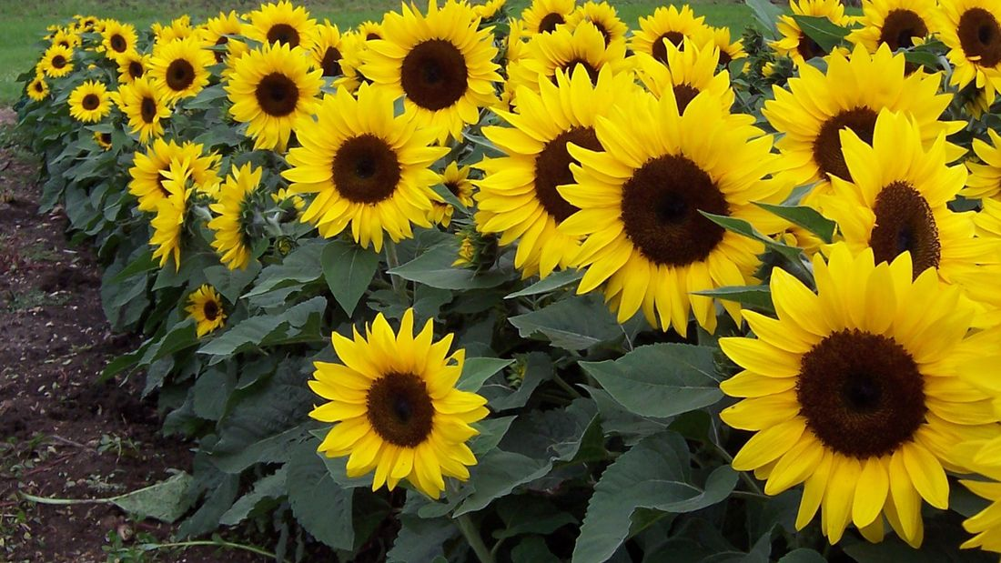 DIY Advice Image - How to plant and care for sunflowers . G Drive blob storage upload.